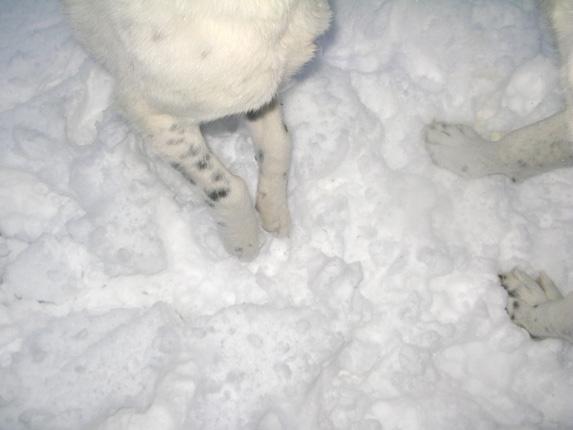 cão de gado